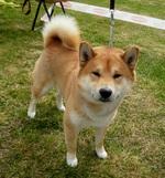 Симпатичная собака Сиба-ину