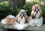 Симпатичные собаки ши-тцу