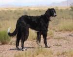 Симпатичная собака Тайган