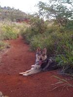 Симпатичная тамасканская собака