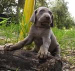 Симпатичный щенок веймаранера