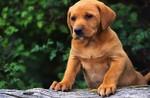 Симпатичный щенок вестфальского таксообразного бракка