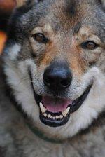 Морда чехословацкой волчьей собаки