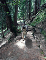 Чехословацкая волчья собака в лесу