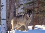 Чехословацкая волчья собака в снегу