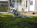 Чехословацкая волчья собака во дворе