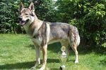 Чехословацкая волчья собака в профиль