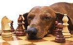 Такса и шахматы