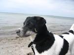 Датско-шведская фермерская собака на фоне моря