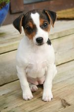 Датско-шведская фермерская собака