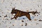 Голландский смоусхонд в снегу