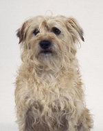 Портрет голландского смоусхонда
