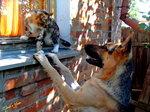 Восточноевропейская овчарка и кот
