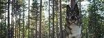 Восточносибирская лайка в лесу