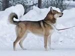 Восточносибирская лайка на снегу