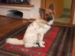 Собака эло в доме
