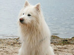 Собака эло на пляже