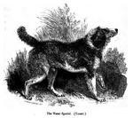 Собака английский водный спаниель