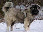 Эштрельская овчарка на снегу