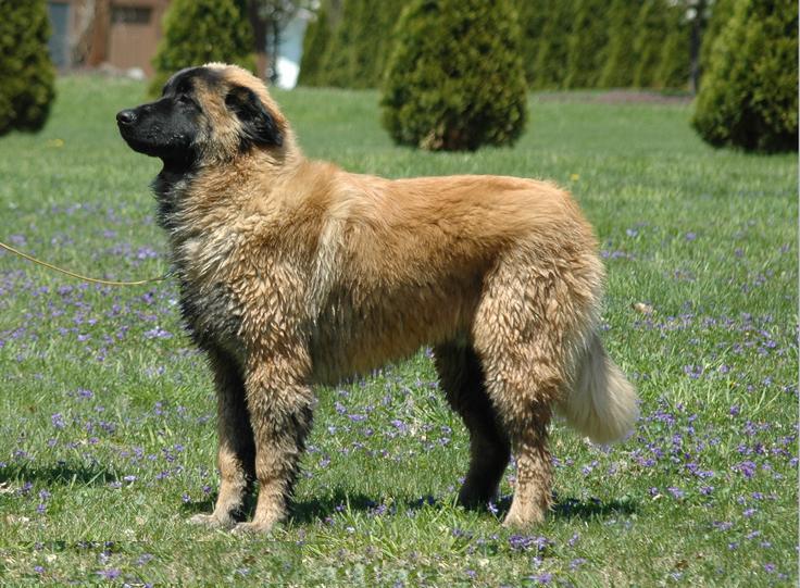 Эштрельская овчарка фото