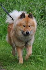 Собака евразиер на прогулке