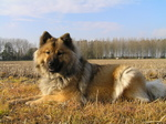 Собака евразиер в поле