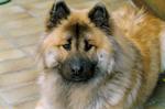 Собака евразиер смотрит на вас