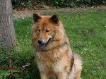 Собака евразиер на траве