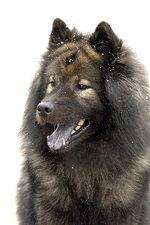 Портрет собаки евразиер