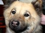Морда щенка собаки евразиер