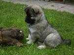 Щенок собаки евразиер на траве
