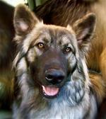Морда американской эльзасской собаки