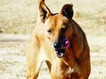 Каролинская собака виляет хвостом