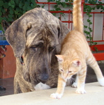 Бразильский фила и кот