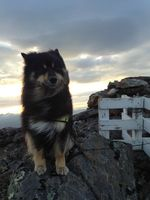Финский лаппхунд на горе