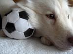 Финский лаппхунд с мячом