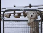 Акбаш в загоне с овцами