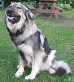 Забавная американская эльзасская собака