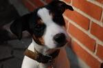 Смешная датско-шведская фермерская собака