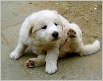 Смешной щенок венгерского куваса