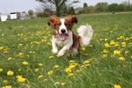 Уэльский спрингер-спаниель