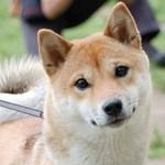 Смешная собака Сиба-ину