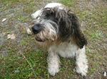 Смешная маленькая собака веттерхун