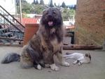 Грузинская горная собака и кот