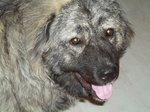 Морда грузинской горной собаки