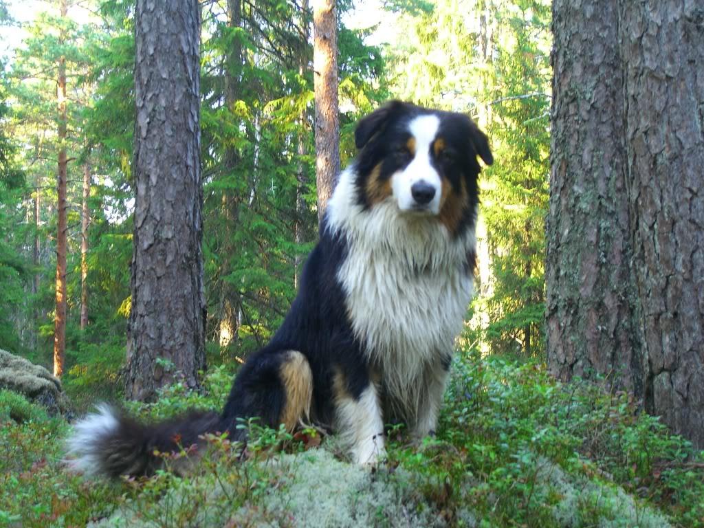 Грузинская горная собака фото