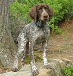 Собака курцхаар на фоне дерева