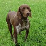 Собака курцхаар на траве