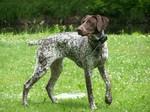 Собака курцхаар на лужайке