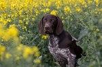 Собака курцхаар в цветах